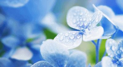 雨引越し紫陽花